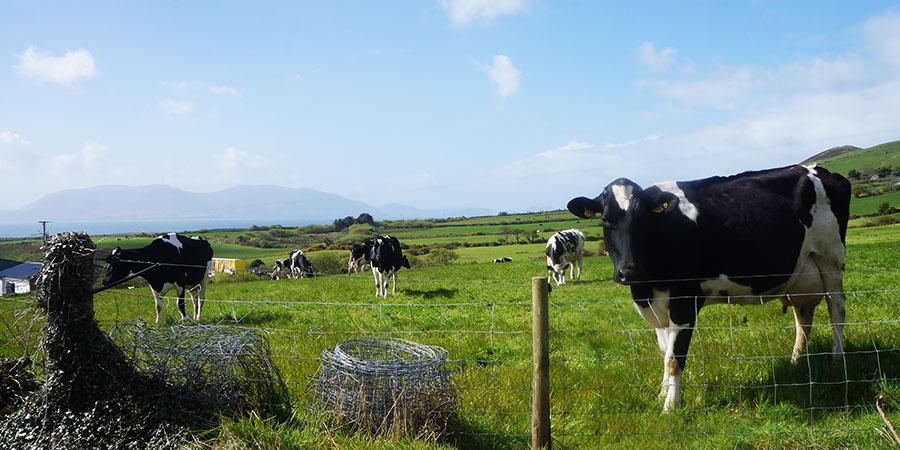 cow-farm-dingle-hiking-ireland-irelandways