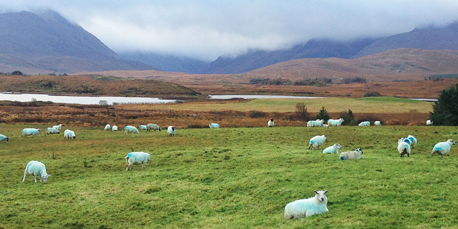 sheep-connemara-trip-to-ireland-irelandways