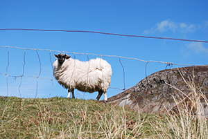 Donegal-sheep-wild-atlantic-way-walking-ireland-ways