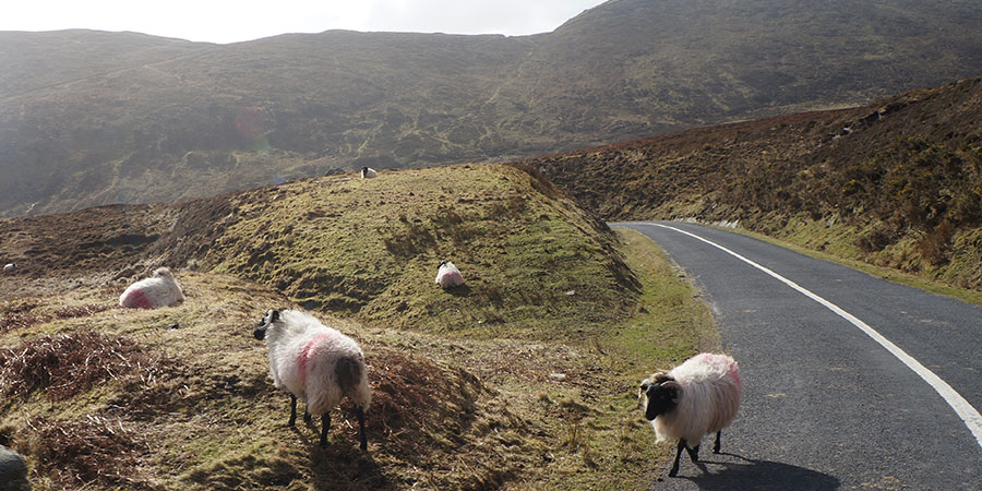 sheep-achill-wild-atlantic-way-cycling-holiday-irelandways