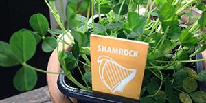 St.Patrick's-Day---Shamrock---IrelandWays