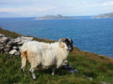 sheep-ring-of-kerry-hiking-ireland-ways