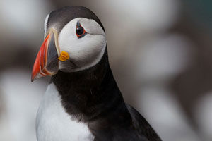 puffin-wild-ireland-kerry