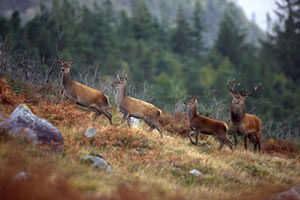 red-deer-wild-ireland