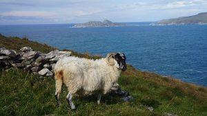 sheep-kerry-way-wild-atlantic-way-walking-ireland-ways