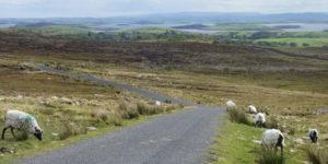 sheep-on-road,-rural-ireland