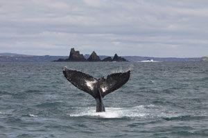 whale-wild-ireland
